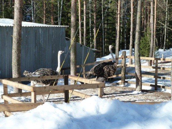 Strauße in Finnland