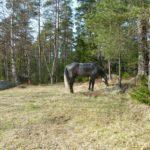 Alan das Pferd grast den Zeltplatz ab